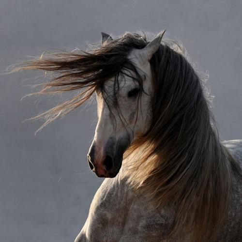 ,: Beautiful Horses, Andalusian Horses, Beloved Horses, Brows Horses, Hors Photos, Horse Piccador, Horses Photos, Horse Photos, Hors Beautiful