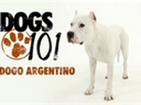 Dogs 101 - Dogo Argentino