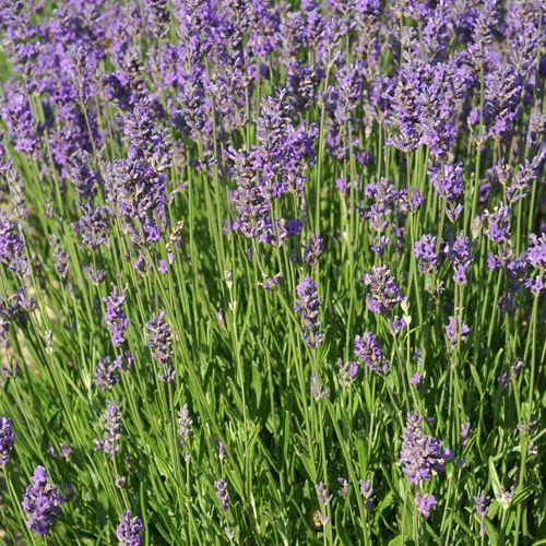 17 meilleures id es propos de vivaces en plein soleil - Massif de fleurs plein soleil ...