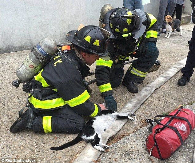 Dedicated: Two firefighters crouch on the ground next to Kit Kat as they perform CPR on the rescued cat