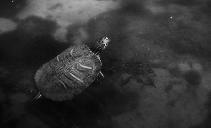 Turtle - null