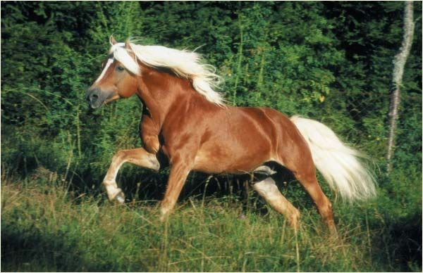 Története A haflingi ló Dél-Tirol alpesi farmjairól származik. A területen őshonos, kis termetű lovak képezték a fajta alapját. Ezek a lovak hegyi málhás lovakként végezték mindennapi munkájukat Tirolban. A fajta kialakulásában a törököktől zsákmányolt arab lovak is részt vettek.