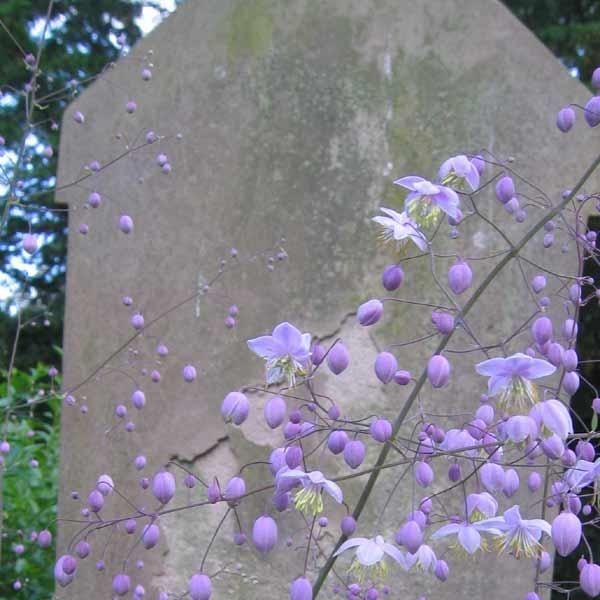 Violfrøstjerne, violet Thalictrum delavayi.  Sået 8.2 - inde. Spiret - ?.  Violfrøstjerne er en høj (ca. 100-130 cm) staude, der på spinkle, men strunke, stilke bærer et mylder af små fine blomster med lyslilla kronblade og sartgule støvdragere. Måske ikke lige den mest oplagte farvekombination, men som naturen har blandet farverne i violfrøstjernen, er det blevet særdeles vellykket. Løvet er let og lysegrønt, som pletter i luften, og holder sig i ca. 30 cm's højde, mens blomsterstænglerne…
