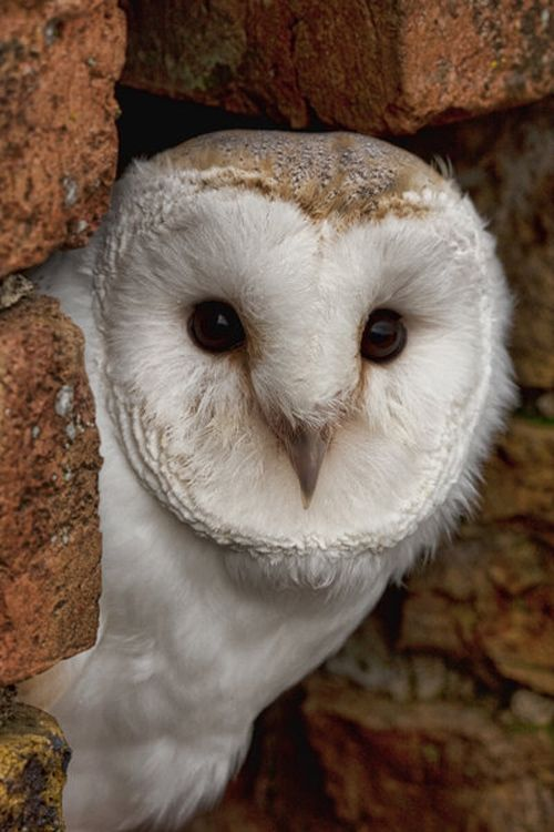 Barn Owl By: mansaards    http://naldzgraphics.net/photography/owl-pictures/