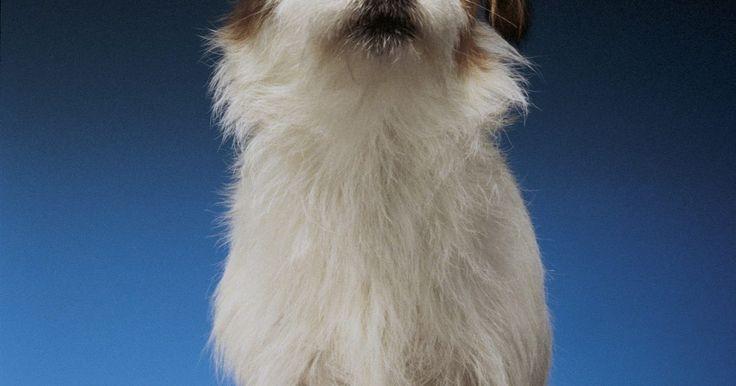 Como saber se um cachorro é uma mistura entre um Chihuahua e um Jack Russel terrier?. Você ama seu cão vira-lata, não importa qual sua mistura de raças - mas muitos donos ficam curiosos para saber mais sobre a descendência de seu cão. Se você acha que o seu cão pode ser meio Chihuahua e meio Jack Russell Terrier, há uma variedade de maneiras de descobrir sua herança, ou ao menos ter um melhor palpite. Pesquisar sobre o passado de ...