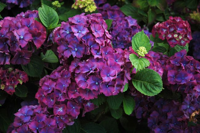Pink Hydrangea Flowers | hydrangea flower 8 | Best Flower Pictures, Photos, and Wallpapers