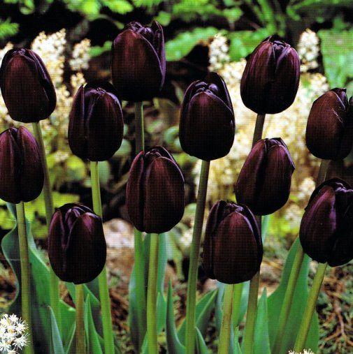 Tulipano nero - Bulbi di Tulipani Queen Of Night. Raggiunge i60 cm di altezza e la fioritura primaverile è tardiva. Sacchetti contenenti 5 bulbi