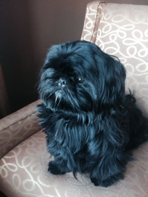 Black Shih Tzu Puppy. I had one, Madison, she looked just like this baby, such a beautiful baby. I miss her so. </3