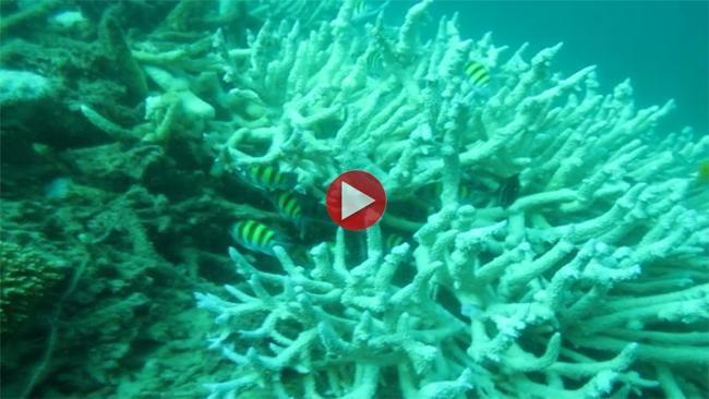 Covesia.com - Fenomena coral bleaching atau pemutihan terumbu karang di perairan laut Indonesia sudah cukup mengkhawatirkan. Pemutihan ini bahkan mencapai perairan laut di Australia, Samudera Hindia dan Samudera Pasifik.Sementara dari penelitian Tim Diving Proklamator Universitas Bung Hatta menemukan 90 persen karang bercabang dan 50 persen karang masif yang ada di perairan pulau-pulau di Sumatera Barat telah mengalami pemutihan sejak Mei 2015.Pemutihan terumbu karang terjadi akibat…