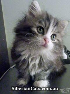 Hypoallergenic Cat Breeds | Miakoschka Siberian Cats
