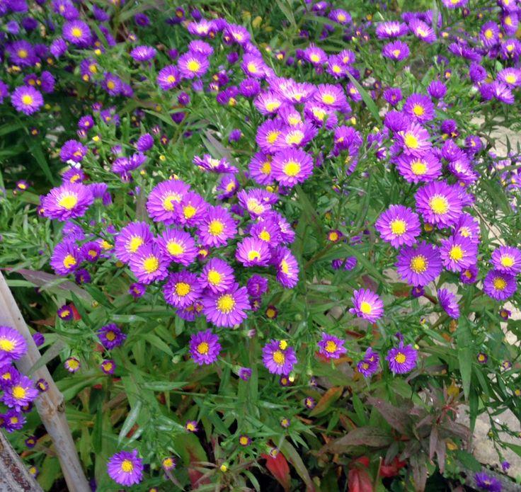 Die Astern in unserem Garten bringen auch in die trübesten Herbsttage Farbe :-)