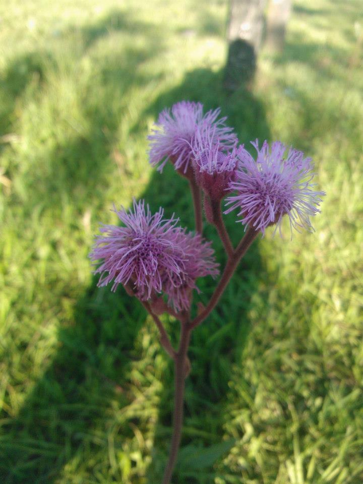 Hermosas. Es un tipo de flor que se llama agerato.