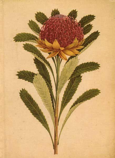 Telopea speciosissima - Waratah - artist: Joseph Lycett (c.1775-1828 )