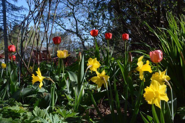 Narsissit ja tulppaanit