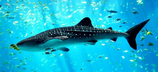 10 Fun Facts About Whale Sharks! - Fun Facts You Need to Know!