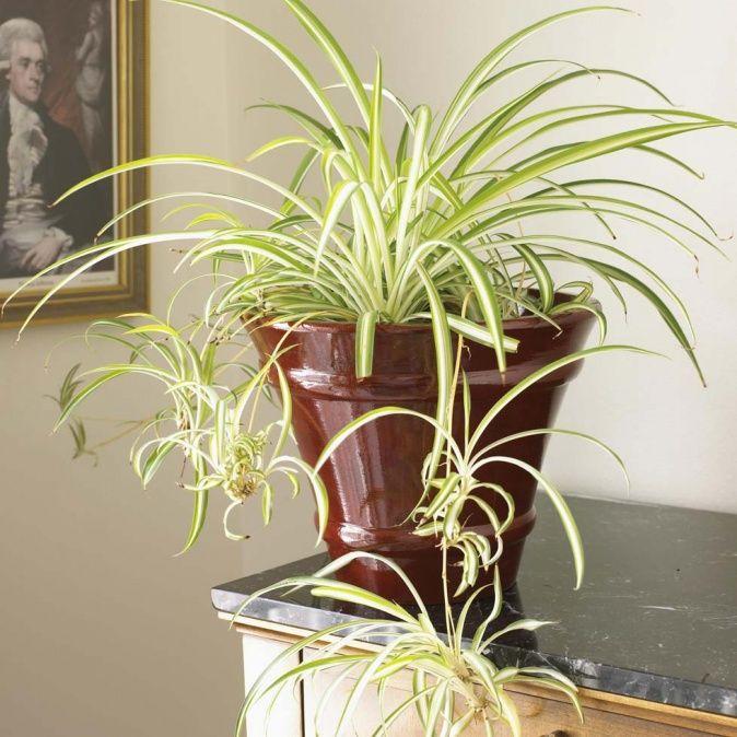 Zimmerpflanze Grünlilie