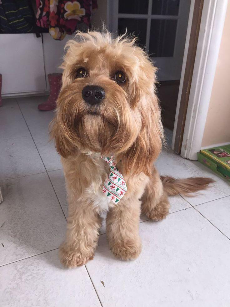 Best Cavapoo Puppies For Sale Gauteng South Africa