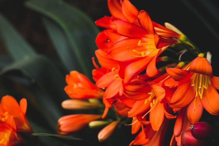 Clivias in full bloom #clivias #springtime #imback #beentoolong #catchingup #backbehindthecamera #photobug #photo #photography #flora #captureit #canon #canonphoto #canonphotography #canon60d #pixel_panda #instagramsa #instagramza #igers_southafrica #southafricaza #kznmidlands #naturephotography #flowerphotography #photoshare #flowersofinstagram #instaflower #sarahvdb #myphoto