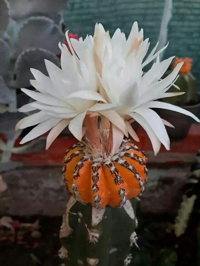 Cactus flower | Flowers, Flowers, Flowers | Pinterest | Cactus flower, Cacti and Flower