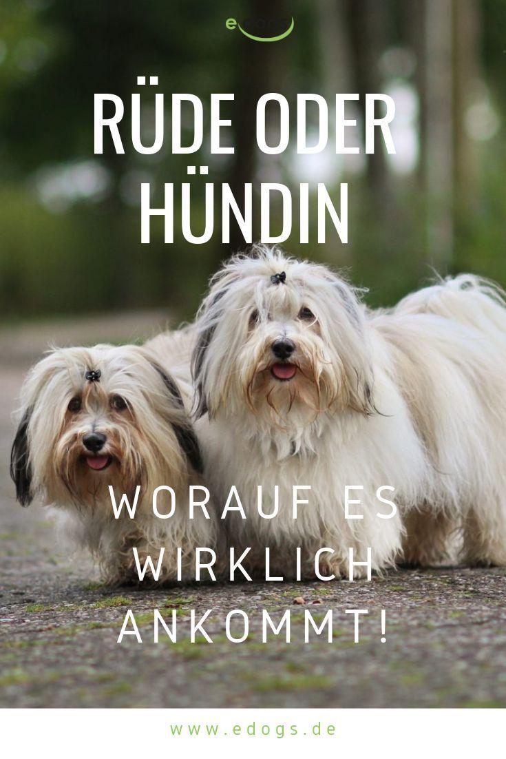 Rude Oder Hundin Worauf Es Wirklich Ankommt Ankommt Hundeaustralienshepherd Hundebabys Hundebasteln Hundebett Hunde Hund Anschaffen Hunde Hunderassen