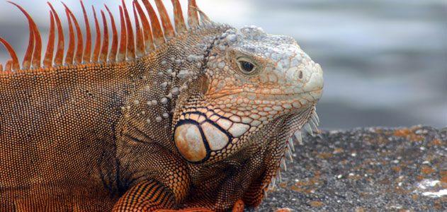 The Beautiful and Bizarre - Galapagos Islands: Bizarre Galapago, Islands Ecuador, Buckets Lists,  Iguanas Iguanas, Life Lists, Galapagos Islands, Common Iguanas, Galapago Islands, Galápago Islands
