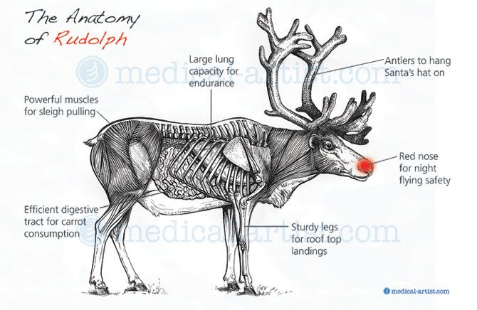 anatomy of rudolph the reindeer