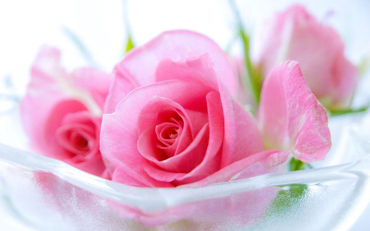 Pink Roses Hd Wallpapers Rose Wallpaper In 2019 Pink Rose