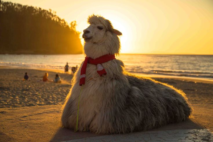 Más tamaños | Llama en la playa | Flickr: ¡Intercambio de fotos!