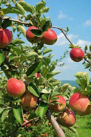Hollin Farms Pick Fruit, Pumpkins, Dig-own-Potatoes & Peanuts, Sunflowers (1410 Snowden Road, Delaplane, VA)