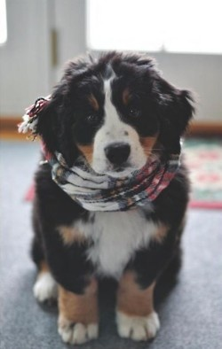 Burmese Mountain Dog puppy -- these guys are adorable!! (What's with the people scarf??)