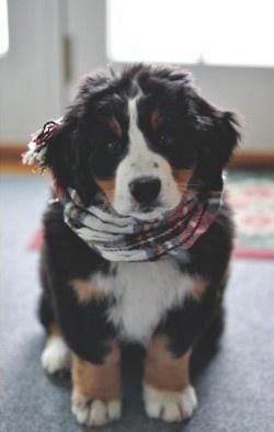 Burmese Mountain Dog puppy -- so cute!!