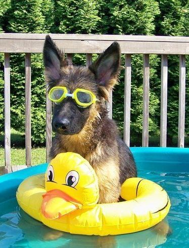 This German shepherd has a very summer 'tude. https://www.thedodo.com/dogs-who-are-straight-chillin-in-their-kiddie-pools-1046173044.html?crlt.pid=camp.uXN5BLya5biS