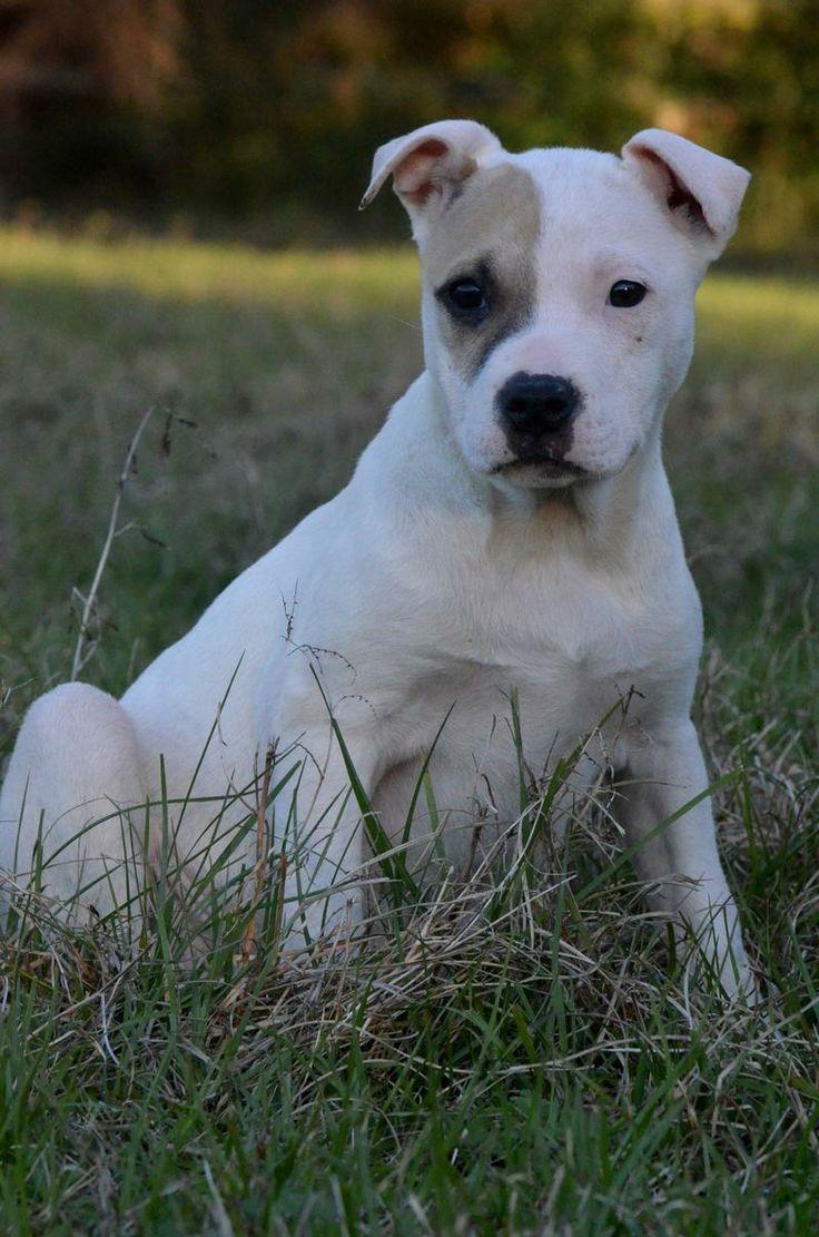 Amazing Dogo Chubby Adorable Dog - 501eacc7e87aeca5dcde4a5d2e45bcea--starting-over-orlando  Snapshot_983986  .jpg