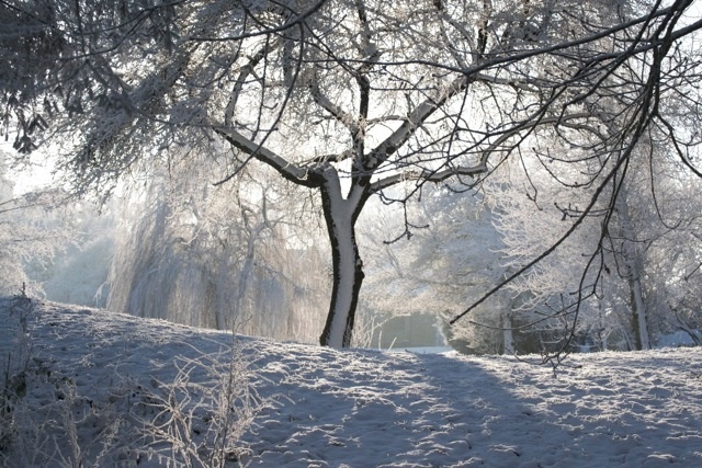 Sun streaming through snow covered trees.