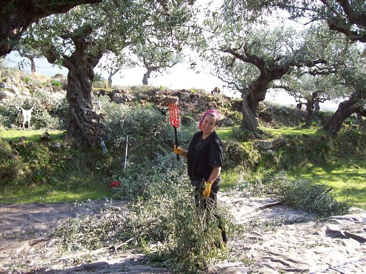 Join us for olive picking holidays in Greece, an amazing foodie holiday including olive picking, cooking workshops and meals at The Olive Farm, Crete. http://www.handpickedgreece.com/olive-picking-holidays-in-greece/#sthash.2CsYAT9L.qjtu