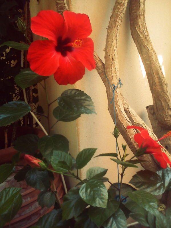 #red_hibiscus #amazing #flowers
