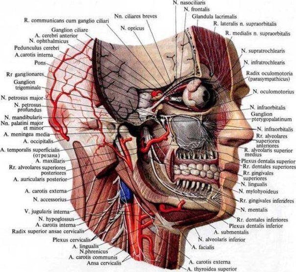 Тройничный нерв Тройничный нерв (n. trigeminus), будучи