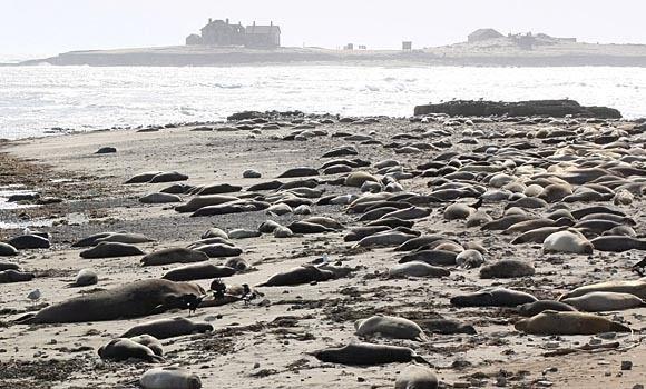 Elephant Seals of Año Nuevo State Park – Pescadero, California | Atlas Obscura
