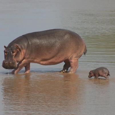 maman et bébé hippopotame