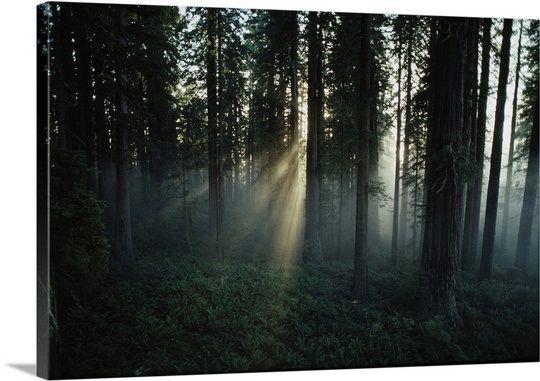 Lady Bird Johnson Grove, Redwood National Park, California