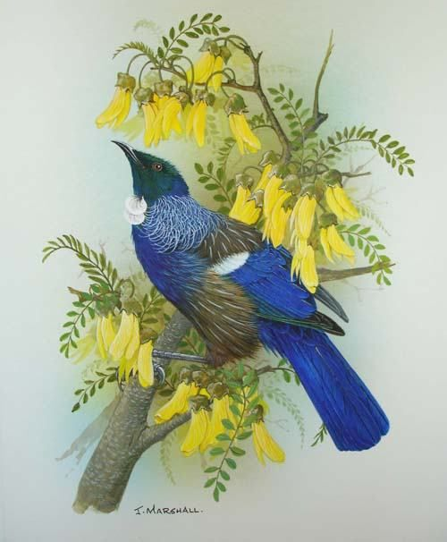 New Zealand Tui (honey eater) on Kowhai Flowers ~ Janet Marshall