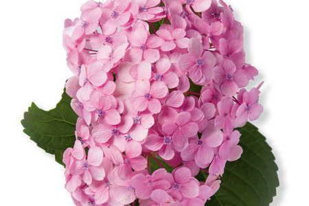 French Hydrangea Varieties