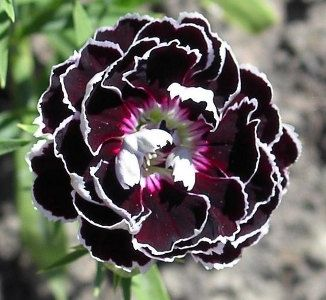 Dianthus caryophyllus Carnation (sweet william) - love that colour