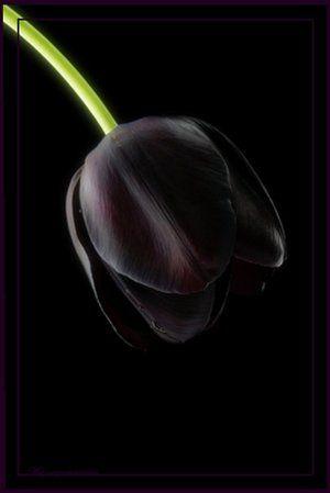 Tulipán negro es definitivamente un color increible