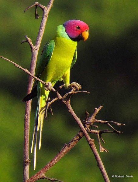 Plum-headed Parakeet: Birds Birds, Birds Birdhouses, Plum Headed Parakeet, Adorable Parrots, Dream Birds, Beautiful Parrots, Beautiful Birds, Птици 2 Birds