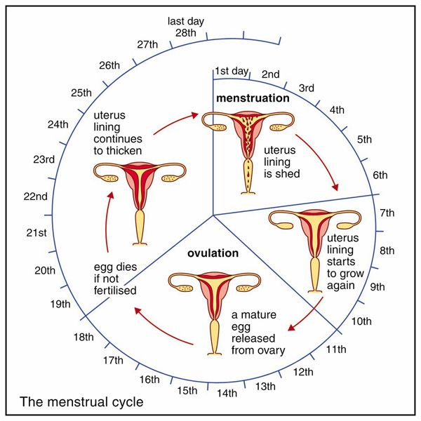 menstrual cycle worksheets - Google Search