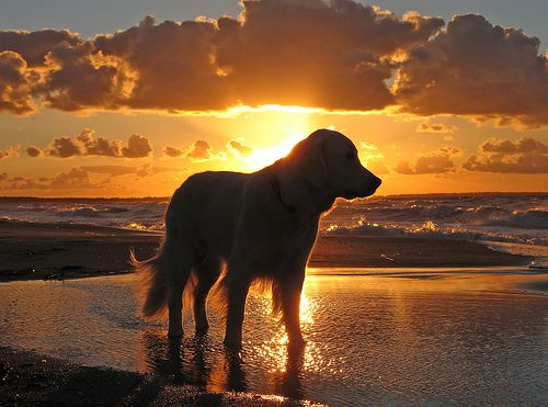 Golden sunset + golden retriever = pure gold