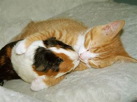 Beautiful a guinnie pig and cat that love each other.