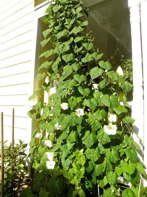 Moonflowers Are Annuals And Very Easy To Grow From