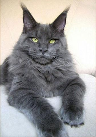 Blue Russian blue cat is gorgeous....such strong manly features! I need to own such a creature just once before I die! I would spoil this boy so badly...